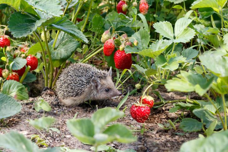 Hedgehog looking for strawberries.