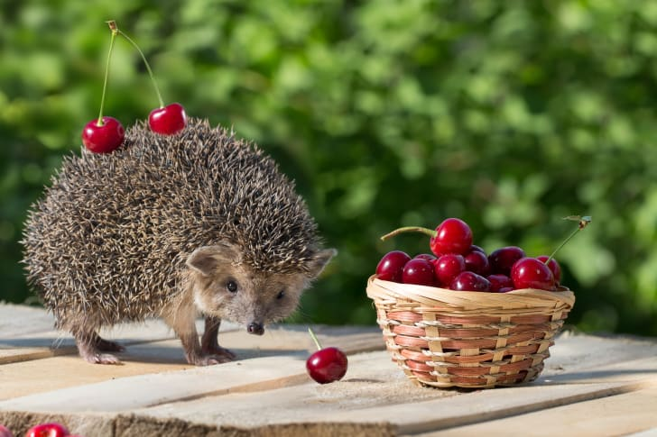 Hedgehog with two cherries stuck on his quills.