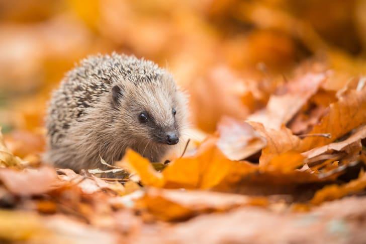 Little hedgehog walking in fall leaves.