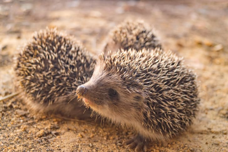 Hedgehogs poking around in the dirt.