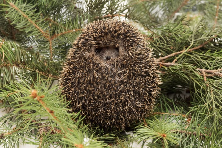 Hedgehog curled up on some pine branches.