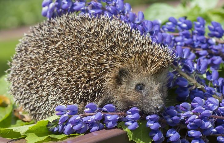 Hedgehog playing in purple flowers.