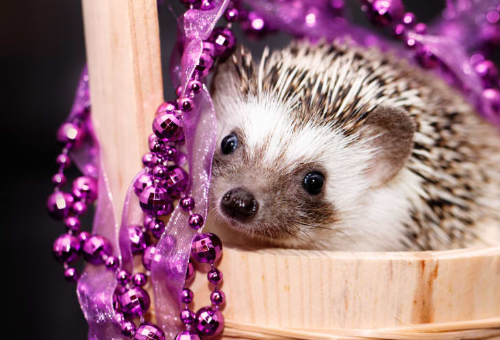 Hedgehog in a bucket with purple beads.