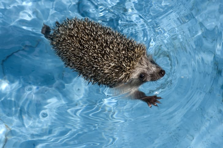Hedgehog swimming in a pool.