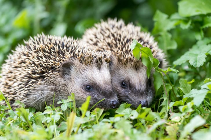 Two hedgehogs cuddled in the grass.