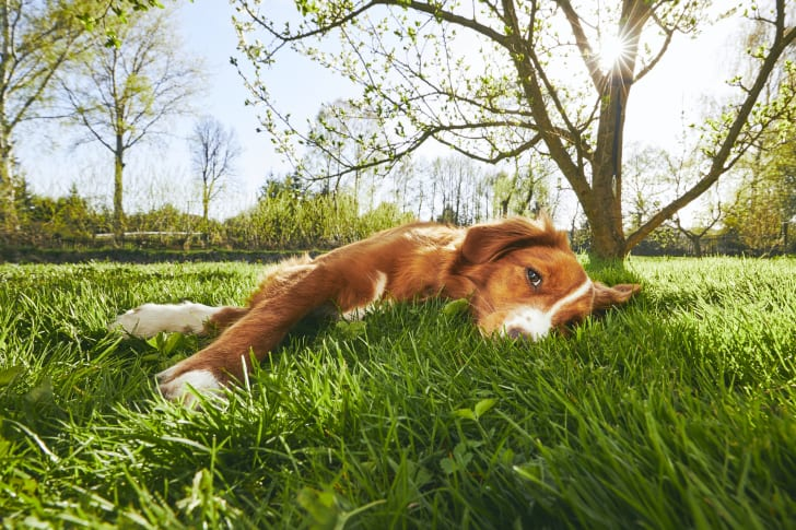 Large dog lying in the grass.