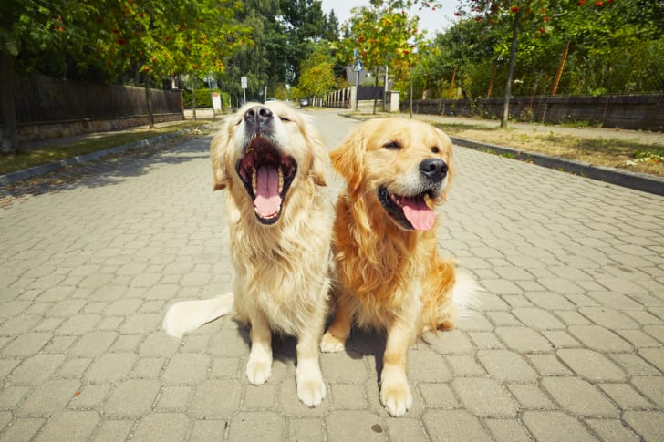 Two golden retrievers in a park.