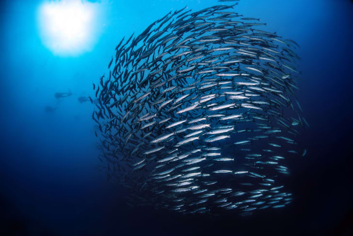 A battery of barracuda swimming.