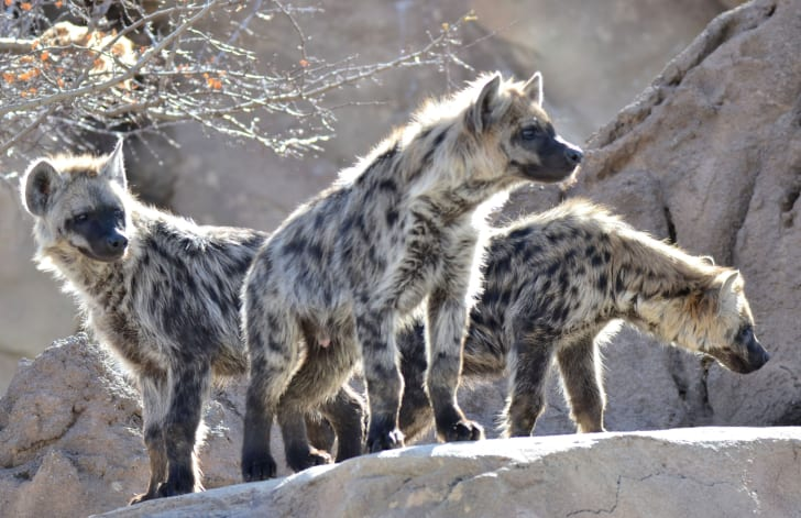 A group of hyenas on a rock.