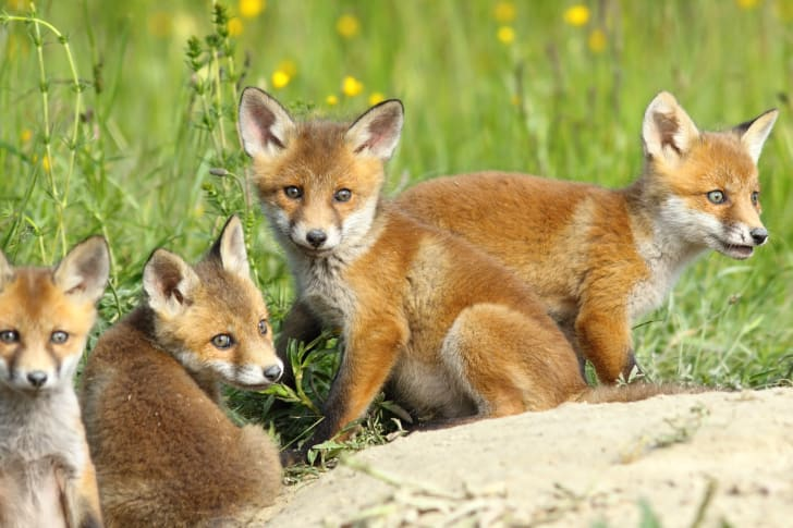 Four little red foxes in a grassy field.