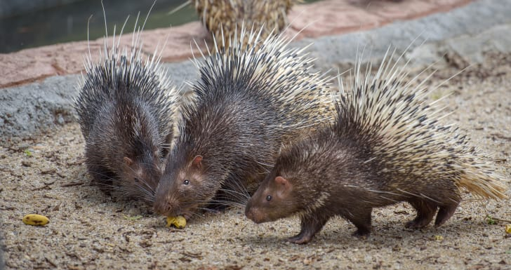 Porcupines eating some food.
