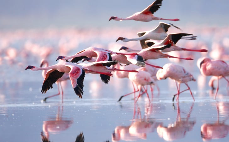 Flamingos flying and standing in the water.