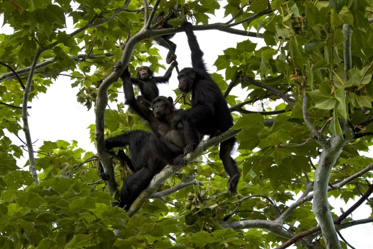 Group of chimps in a tree.