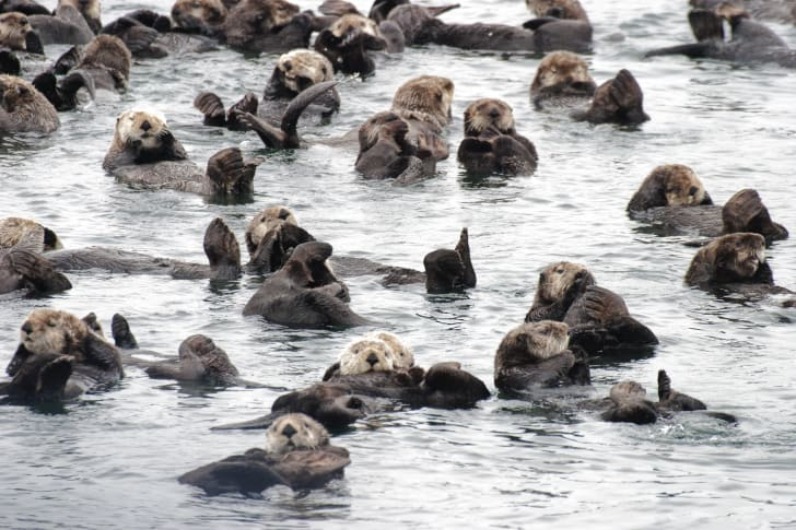 Otters floating in the water in a large group.