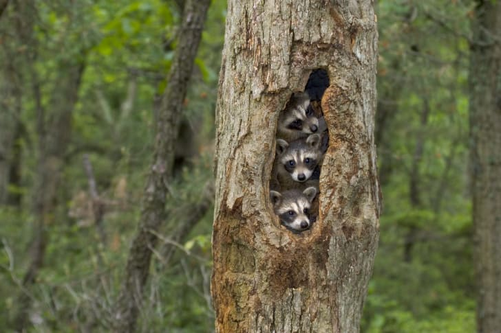 Three raccoons in a tree hole.