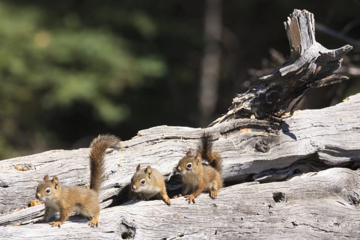 Squirrels lined up on a log.
