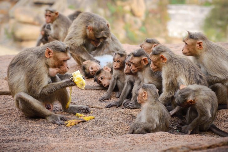 A group of monkeys gathering around a banana.