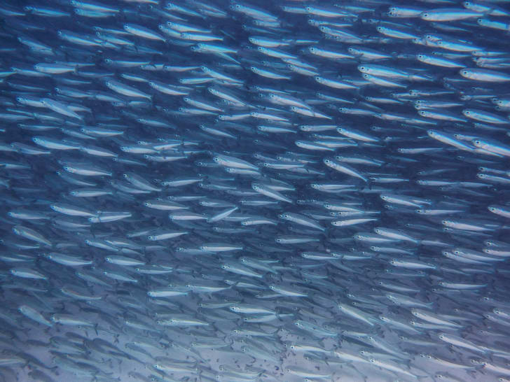 Sardines swimming in a large group.