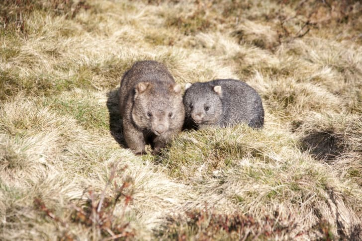 Couple of wombats in a field.