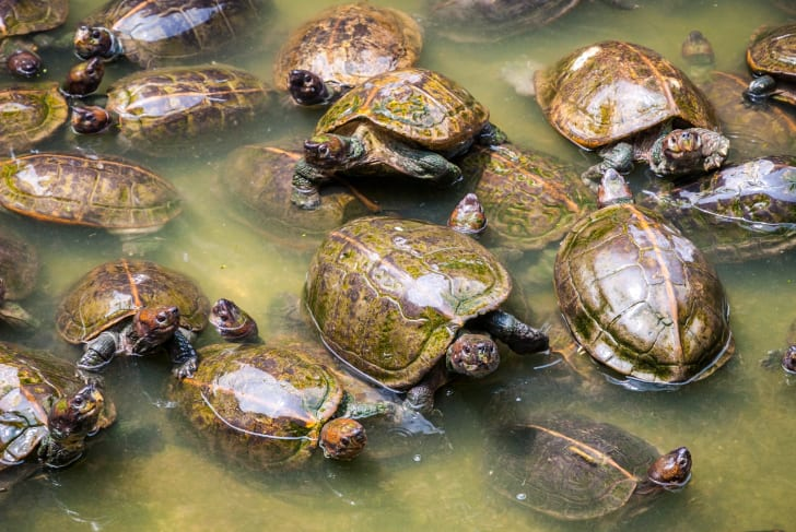 Group of turtles in the water.