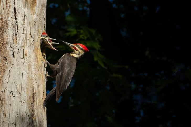 Three woodpeckers in a tree.