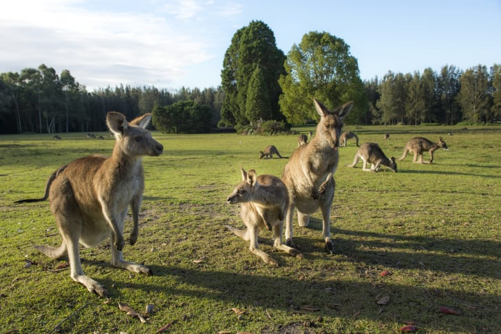 Kangaroos in a field.