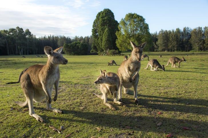 Kangaroos in a field.