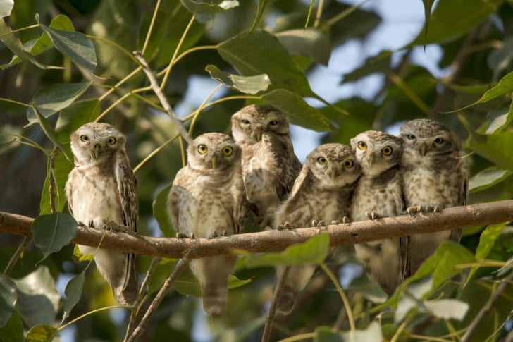 A group of owls on a branch.
