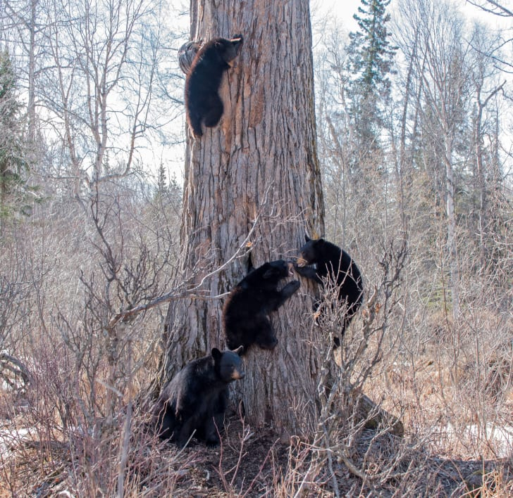 Four bears climbing a tree.