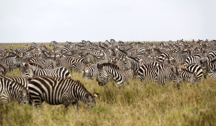 Zebras grazing in a field.
