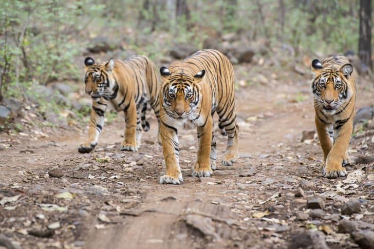 Three Bengal tigers walking along a path.