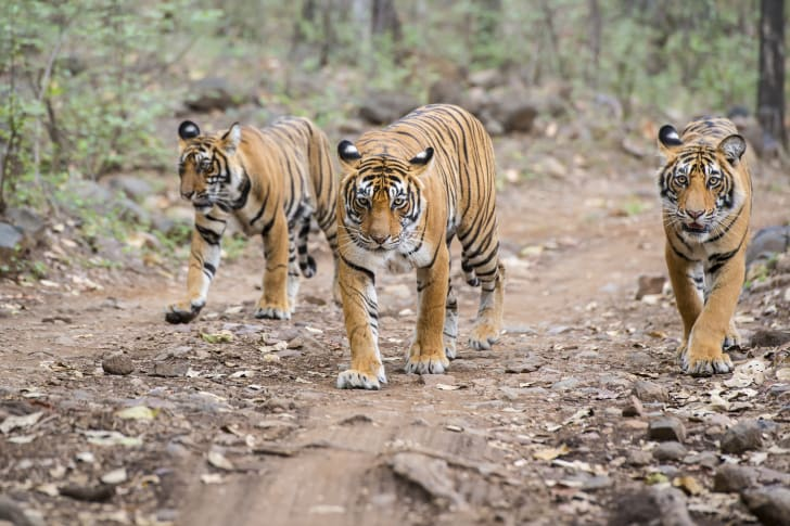 Three Bengal tigers walking along a path.