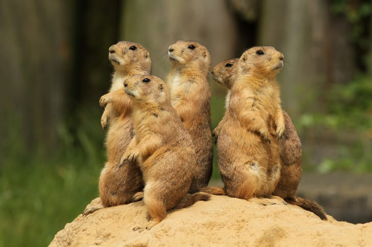 Prairie dogs standing on a mound.