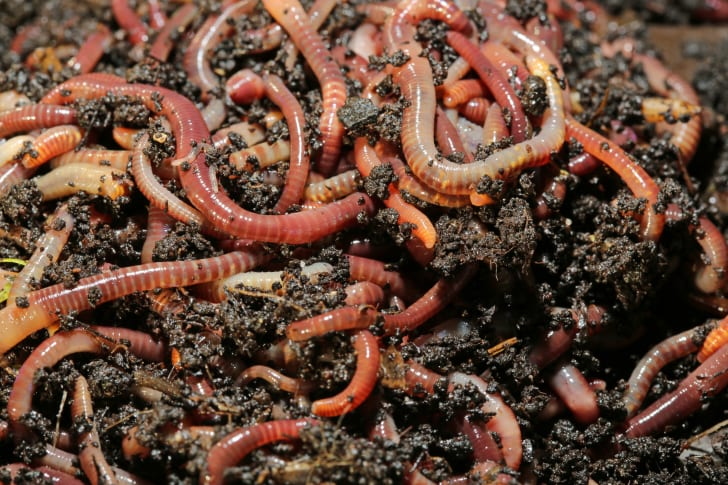 Pile of worms in the dirt.