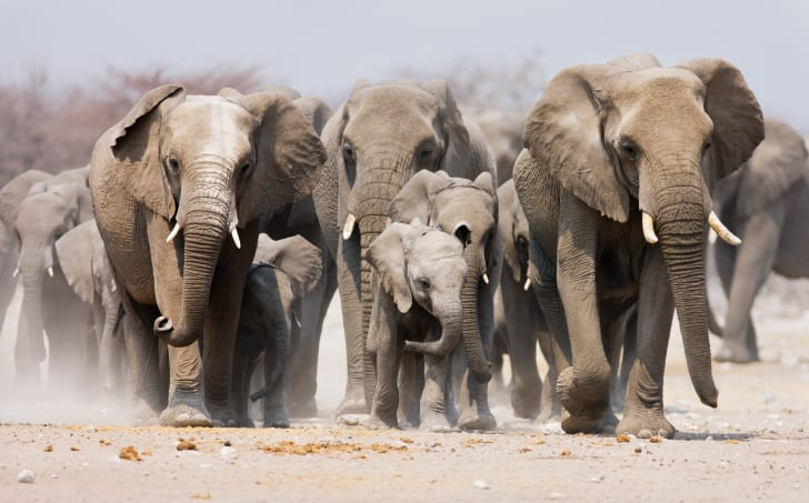 A herd of elephants with a couple of babies in front.