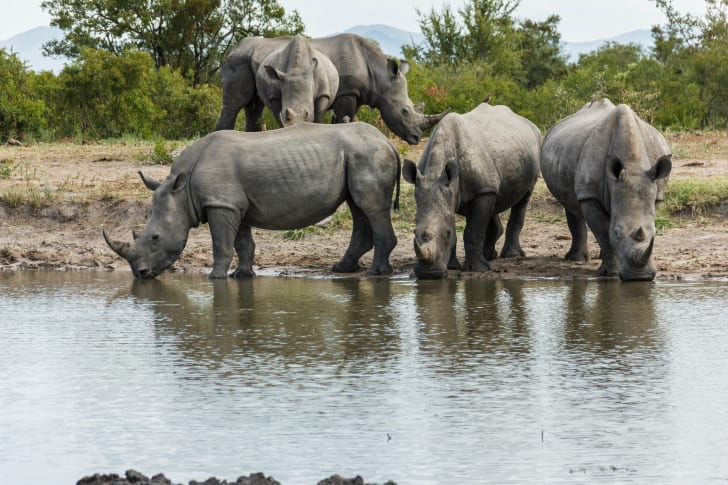 Rhinoceroses drinking water.