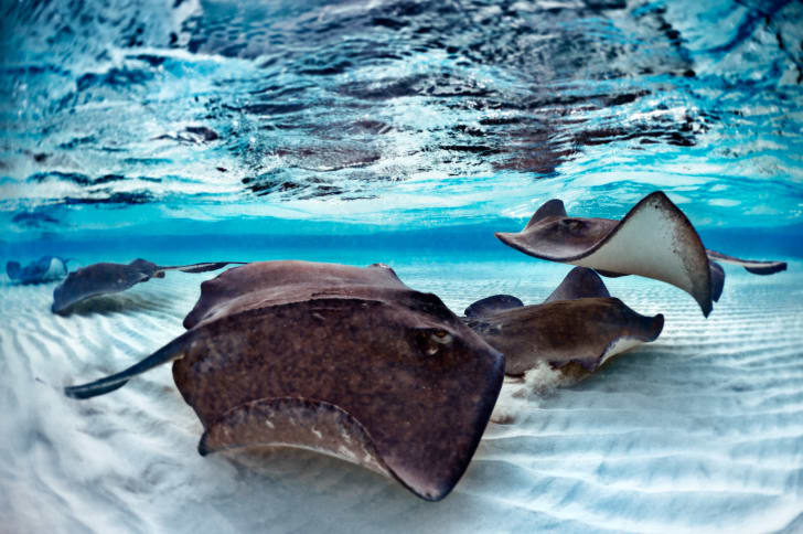 Stingrays swimming under the water.