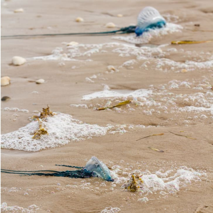 Two Portuguese Man o' War washed up on the beach with their tentacles stretched out.