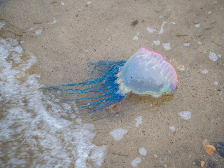 A pink-tinted Portuguese Man O' War with blue tentacles in the surf at a beach.