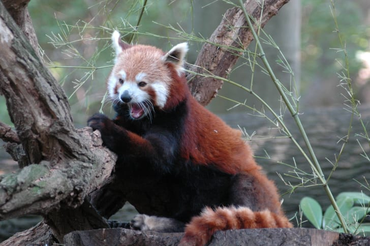 Red panda with teeth bared.