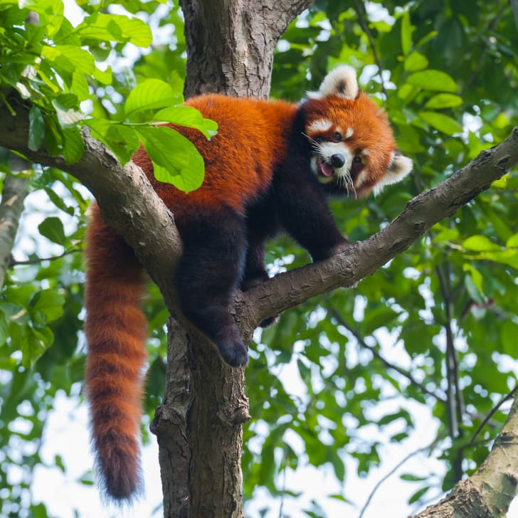 Red panda climbing across a tree.