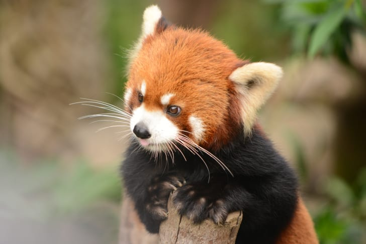 Red panda perched on a log.
