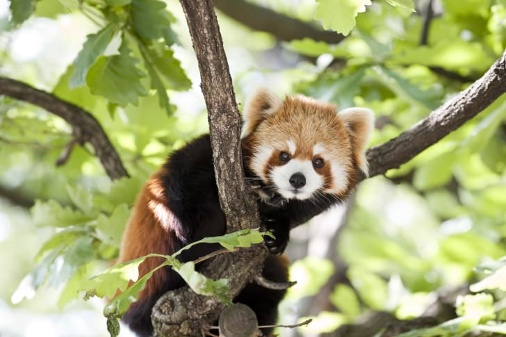 Red panda peeking out from behind some tree branches.