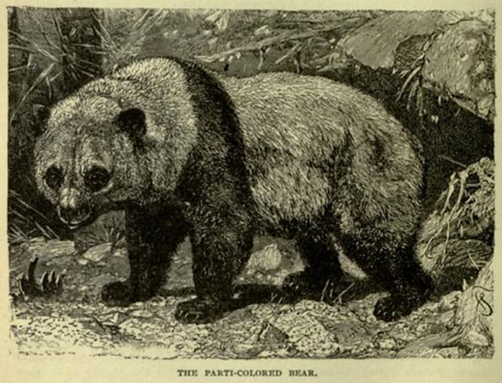 Engraving of a parti-colored bear.