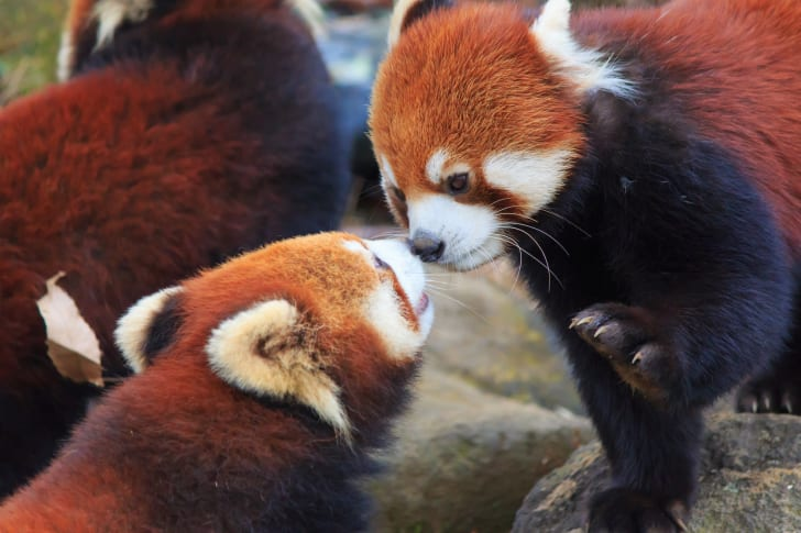 Two red pandas touch noses.