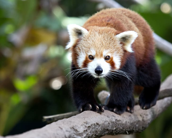 A red panda walking toward the camera.