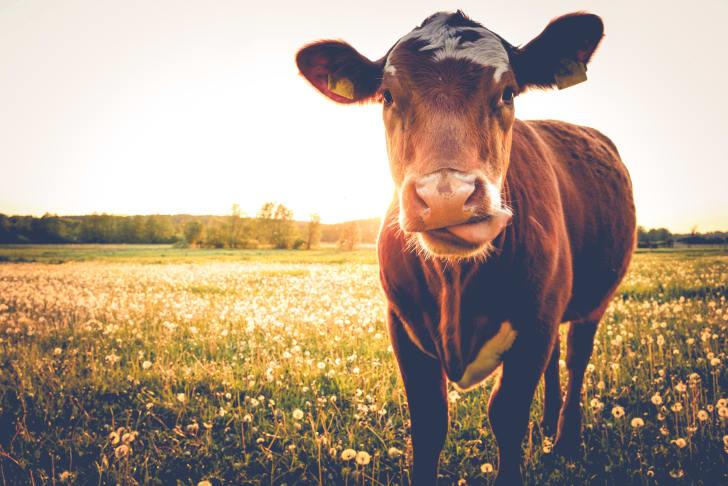 Cow looking at a camera.