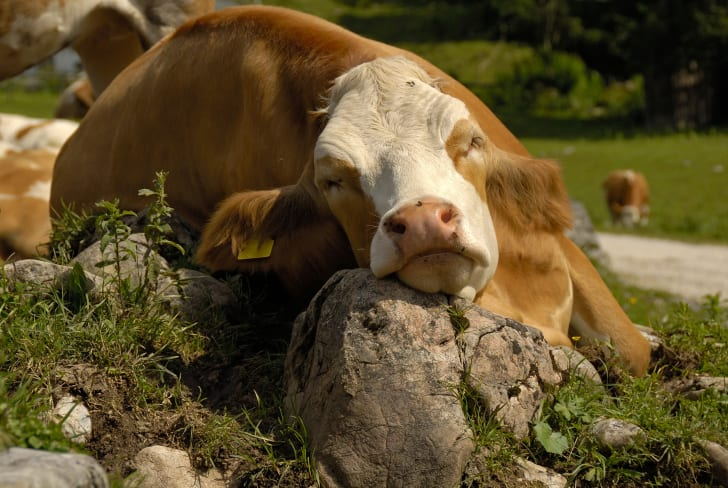 Cow sleeping with its head on the rock.