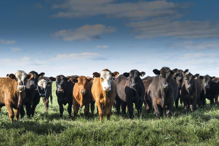 Cattle in a field.