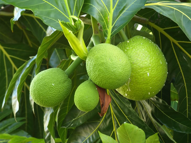 A cluster of green monster fruit in a tree surrounded by leaves.
